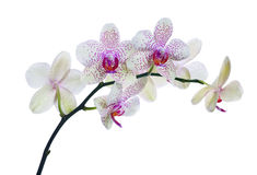 Light color orchid flowers in pink spots isolated on white Royalty Free Stock Photography
