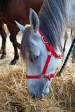 Light-colored лошадь Стоковое Изображение RF