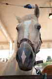 Light-colored лошадь Стоковые Фото