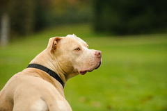 Light Colored American Pit Bull Terrier. Against green grass looking back stock photo
