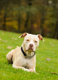 Light colored American Pit Bull Terrier lying down on green grass. With forest in background Royalty Free Stock Photography