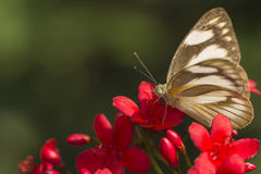 Light-Colored Butterfly Stock Photo