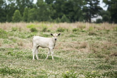Light Colored Calf Royalty Free Stock Photos