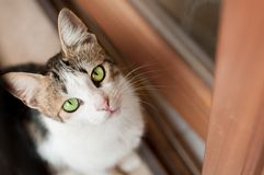 Light-colored cat with green eyes. Looks into the lens stock image