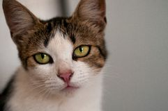 Light-colored cat with green eyes. Looks into the lens stock photography
