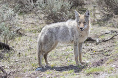 Light colored coyote standing in grass Stock Photo