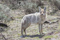 Light colored coyote standing in grass Stock Photography