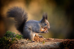 Light colored red squirrel Royalty Free Stock Images