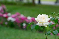 Light coloured climbing rose. With abstract blurred background stock photo