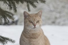 Light coloured orange cat out in the winter snow stock images