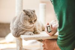 Scottish fold cat is looking how old man is constructing the design of his cat play house royalty free stock photos