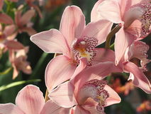 Light Coral Burgundy And Yellow Dendrobium Orchids Stock Photo