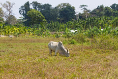 Light cow grazes in a field in India Royalty Free Stock Photo