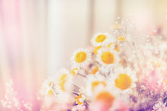 Light daisies flowers,  floral background. Light daisies flowers,  light bokeh background Royalty Free Stock Image