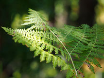 Light dapples through the forest canopy onto a fern branch Stock Images
