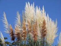 Light and dark cane panicles against the blue sky Stock Photography