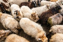 Light and dark colored sheep together in a sheepfold. Top view of a herd of light and dark sheep in a sheepfold stock photography