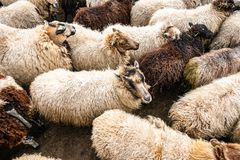 Light and dark colored sheep together in a sheepfold stock photo