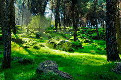 Light in the dark forest Royalty Free Stock Image