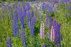 Light and dark lupines Stock Photography