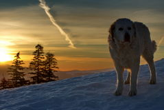 Carpathian Shepherd. Big dog in the light of sunset. Winter mountain landscape Stock Image