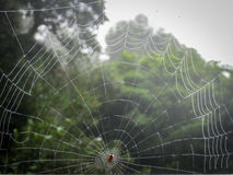 Light Dew on Spider Web. Light dew coats the web of a red spider with trees in background Royalty Free Stock Photos
