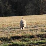 Light dog Stock Image