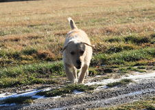 Light dog Royalty Free Stock Images