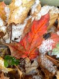 First snow on fall leaves. A light dusting of snow coats fallen maple leaves Royalty Free Stock Images