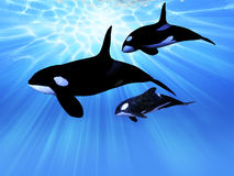 Light Echo. A mature male Orca whale swims with a juvenile and baby whale in this family group Stock Photos