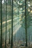 Light entering foggy forest. At early winter sunset Royalty Free Stock Photos