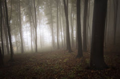 Light entering a mysterious forest with fog. Strange light entering a mysterious forest with fog Stock Image
