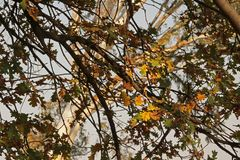 LIGHT FALLING ON OAK LEAVES ON A BRANCH IN AUTUMN. View of light falling on yellowing and green oak leaves on an oak tree in autumn royalty free stock photo