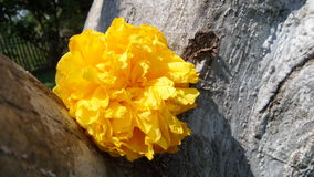 Light on falling Yellow Silk Cotton flower Stock Photography