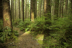 Light falls on a forest trail. Sharp angles of light shine through the trees along a forest trail in Olympic National Park in Washington Royalty Free Stock Photography