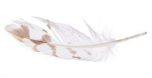 Light feather with brown spots isolated on white Stock Photo