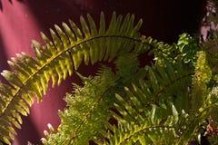 Light on fern leaves. Light on green fern leaves Royalty Free Stock Photos