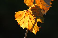Light Filled Fall Leaves