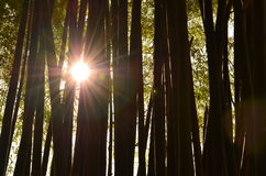 Light. Filtered through bamboo beautifully Royalty Free Stock Photography