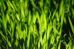 Light flooded grass Royalty Free Stock Image