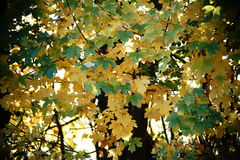 Light flooded maple leaves Royalty Free Stock Photos