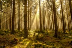 Beams of light in the fir forest with mystical mood. And light stock images