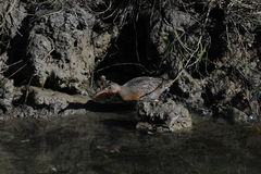 Light-footed clapper rail Rallus longirostris levipes 30 Royalty Free Stock Photography