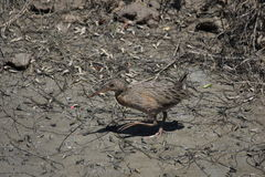 Light-footed clapper rail (Rallus longirostris levipes) Royalty Free Stock Photography