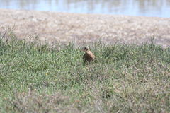 Light-footed clapper rail (Rallus longirostris levipes) Stock Photo
