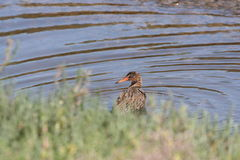 Light-footed clapper rail (Rallus longirostris levipes) Royalty Free Stock Image