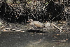 Light-footed clapper rail (Rallus longirostris levipes) Stock Photos