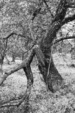 Old partly broken Apple Tree Stock Photo