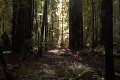 Light in a Forest Royalty Free Stock Photos