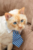 Light ginger blue-eyed cat in tie Stock Photo